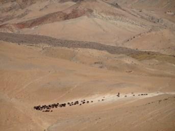 Un troupeau dans le désert