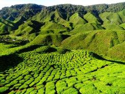 La carte postale des plantations de thé