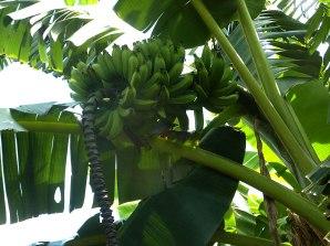 biodigestor-bananas