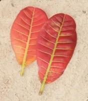 folhas de caju