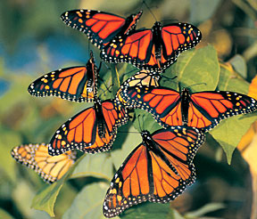 monarchs