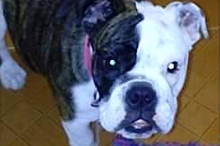 Hombres armados roban una perra bull dog a una familia en Naucalpan