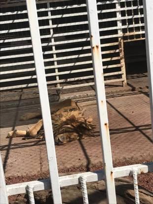 Pareja de leones sufren desnutrición y maltrato en zoológico de Edomex
