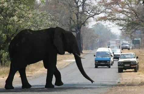 ザンビアのマランバで、道路を横断するゾウ(2006年9月26日撮影、資料写真)。(c)AFP/ALEXANDER JOE