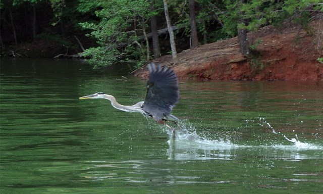 Heron Wildlife Lake Norman North Carolina