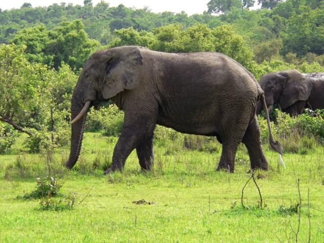 Elefant_Ghana