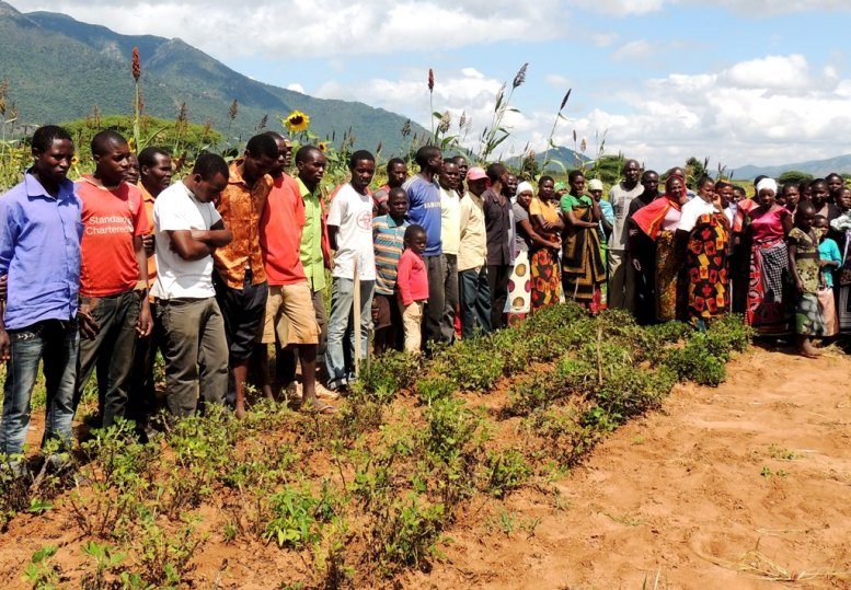 Farmers observing the performance of their varieties of groundnuts against the new improved ones trial.