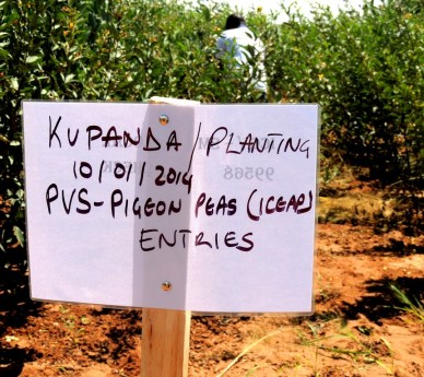 Pigeonpea varieties on trial