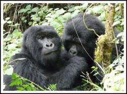 1 Day Gorilla Trekking Tour