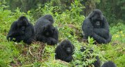 Gorilla Trekking Bwindi Impenetrable National Park