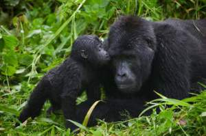 Sign Up 1 Day Gorilla Trekking Rwanda with Africa Treasure Home