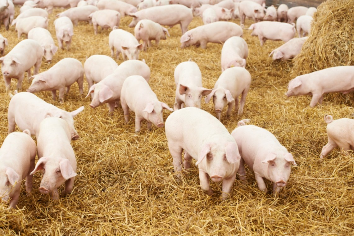 Pig Farming in Kenya - 6 Major Gains