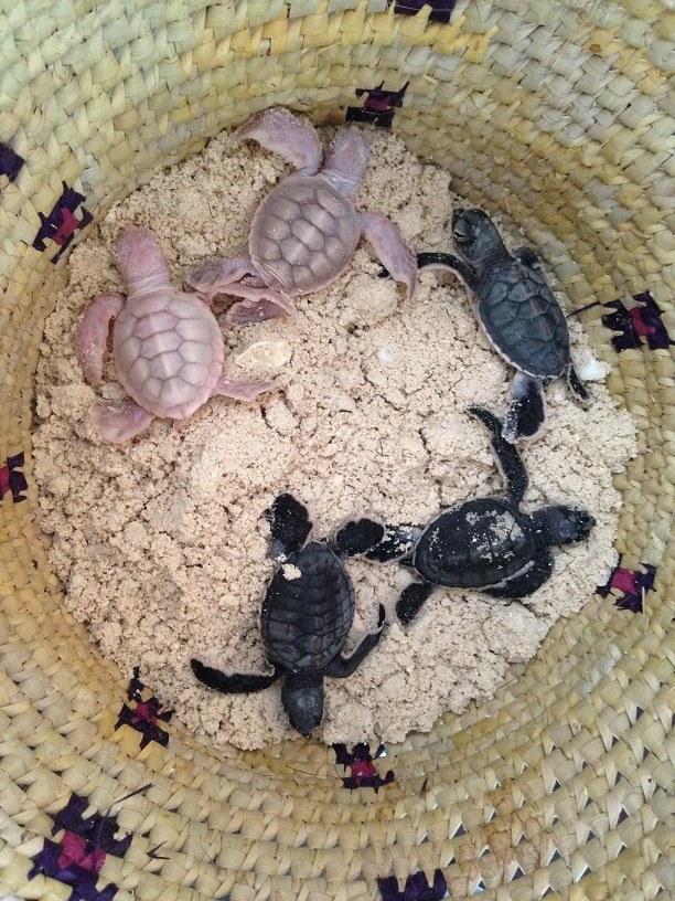 The albino green sea turtles surprised researchers on Vamizi Island. ©  Joana Trindade