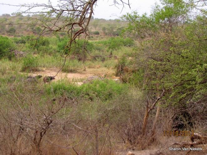 lions-and-buffalo-in-bush