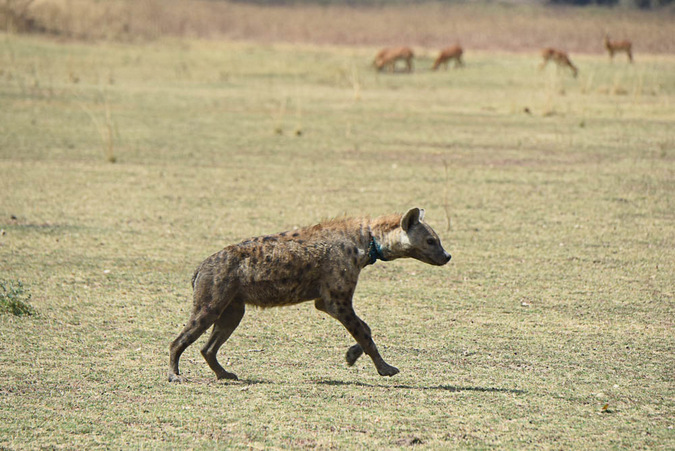 Hyena moves off after being treated