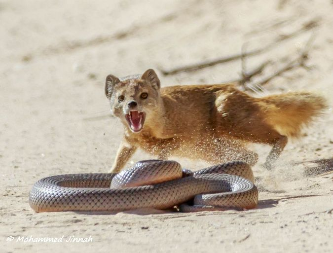 Image result for snake and mongoose
