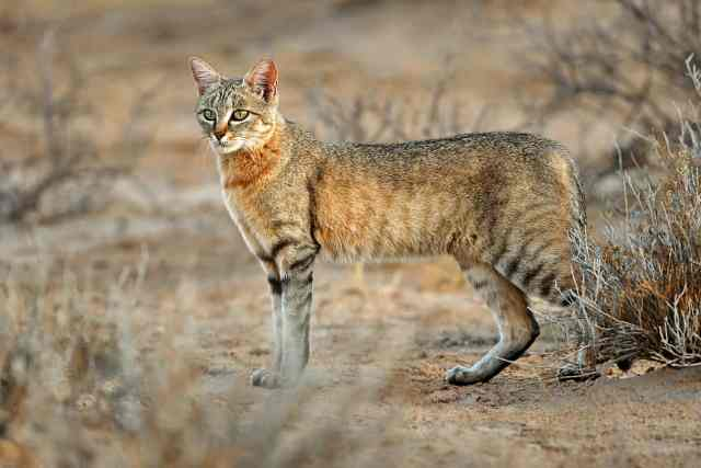 african small cats africa's smallest cat small african wild cat smallest cat in africa tiny african wild cat african small wild cats small black cat in an african desert