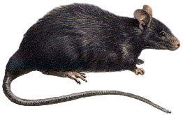 Massive super rats are taking over Johannesburg – No White men to catch rats