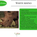 Facts Friday White rhino