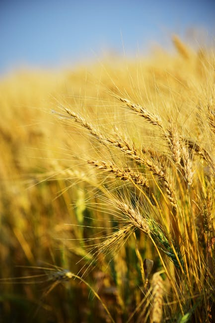 Algeria Plans Sharp Cut In Wheat Purchases To Curb Import Bill