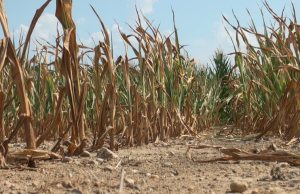 Maize field dried up by climate change