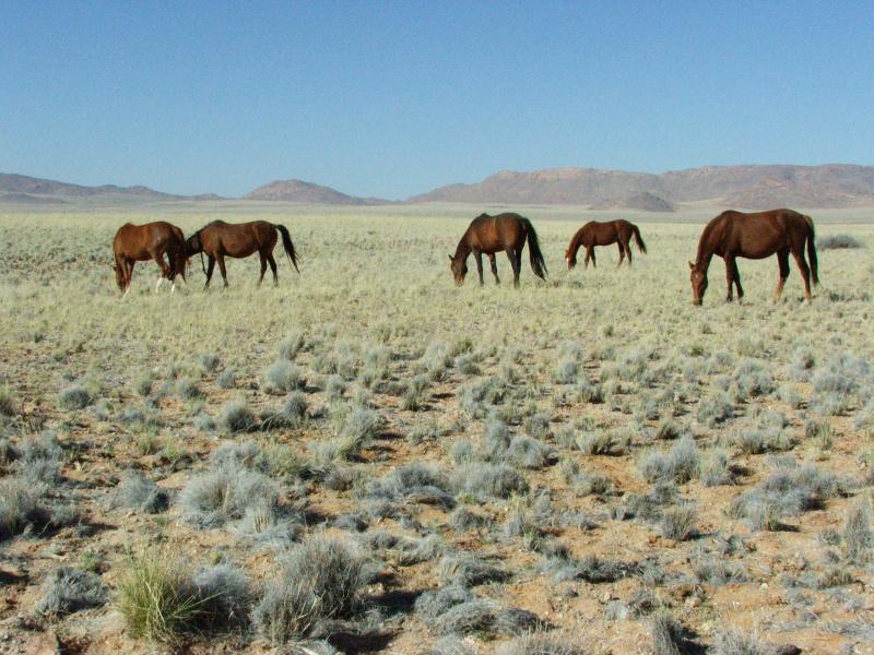 Feral Horses at Aus