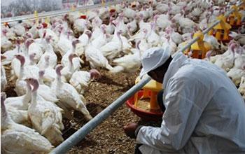 Un nouveau virus continue a fait son apparition dans les fermes avicoles tunisiennes. Il s'agit du «Newcastle»