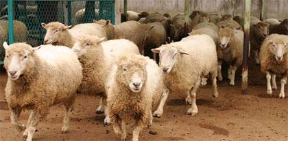 Des centaines de familles tunisiennes nécessiteuse ont reçu des moutons pour le sacrifice de l'Aïd Al Adha