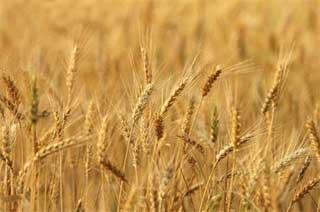 Les services régionaux de l'agriculture de Béja ont annoncé lundi que la