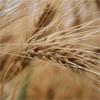 La récolte céréalière