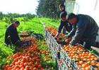 Le secteur des agrumes en Tunisie enregistre un développement continu depuis quelques années