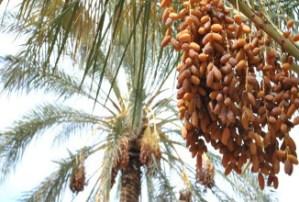 Tunisie : Augmentation de 23% des recettes provenant des exportations des dattes Datte23.jpg?zoom=2