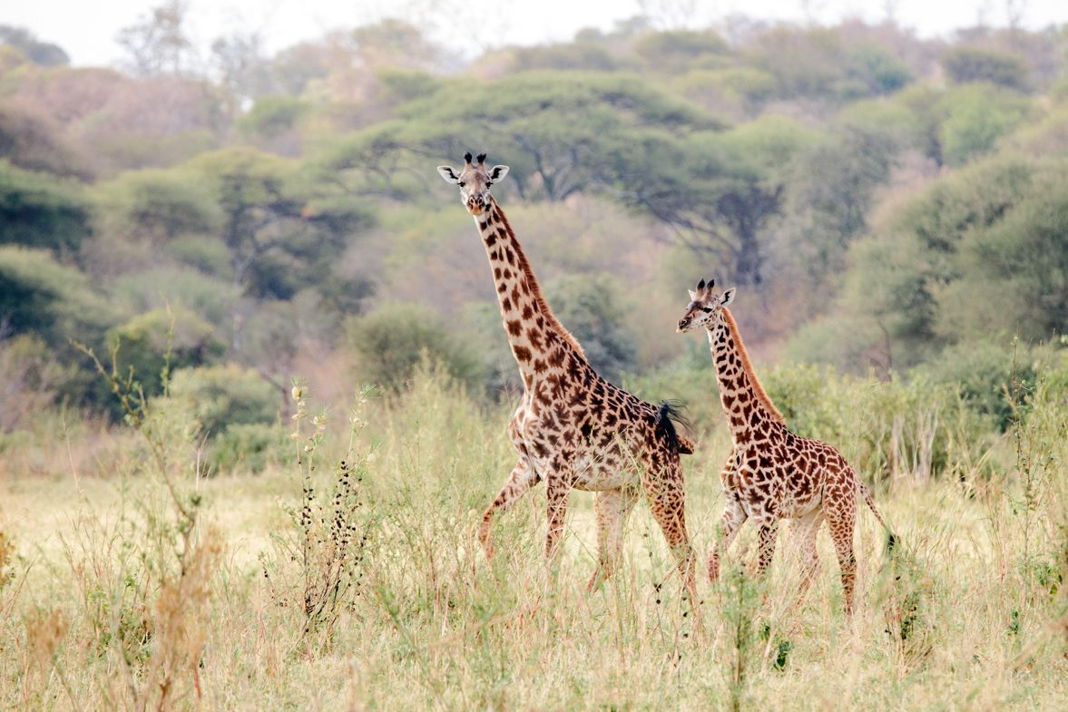 APW protects giraffes as part of its wildlife and habitat conservation programs.