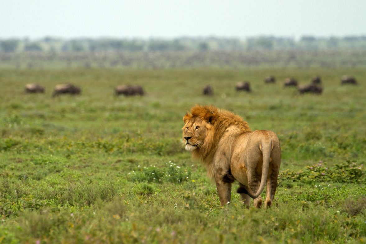 APW's human-wildlife conflict prevention work saves the lives of approximately 150 lions each year.