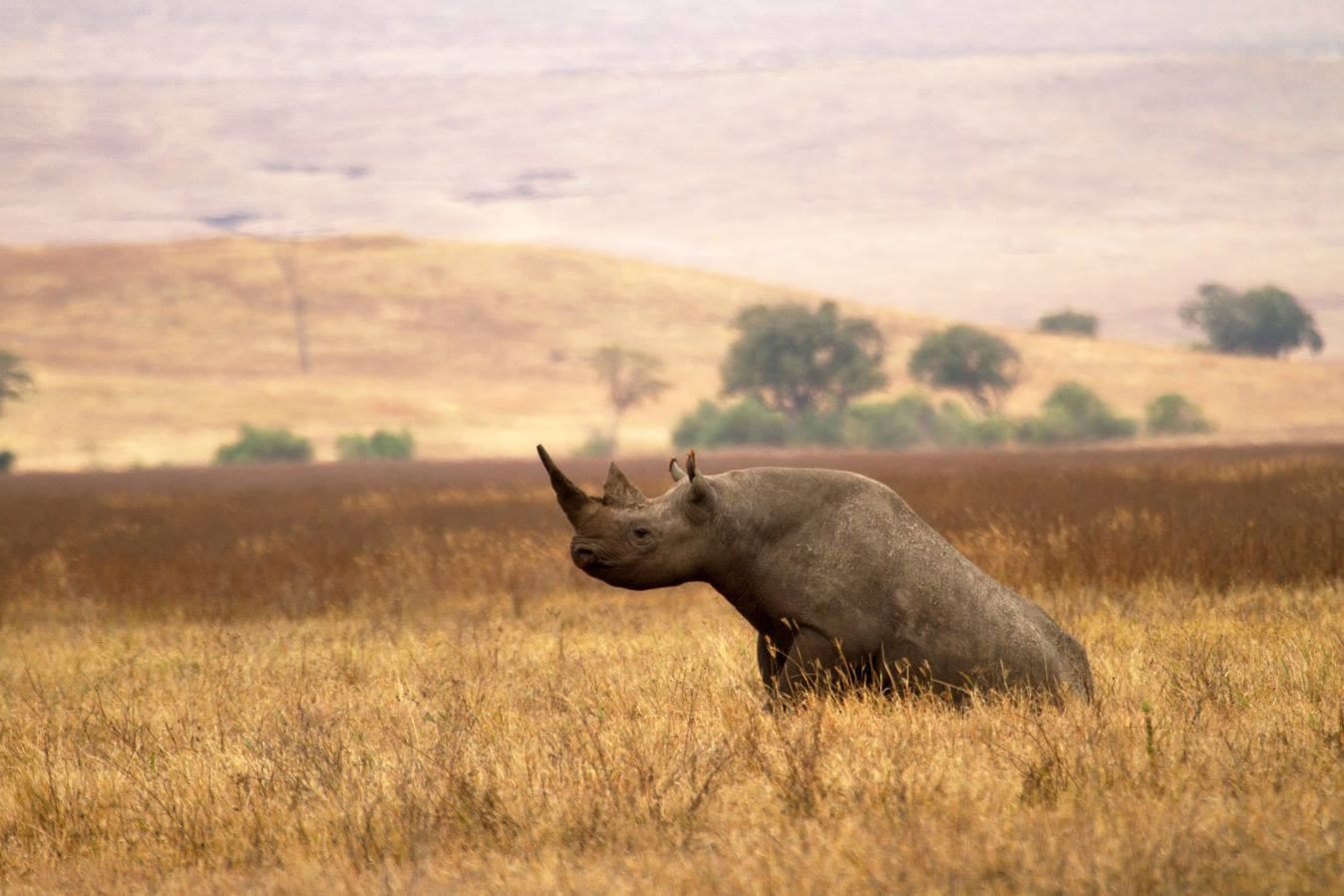 A rhinoceros in the Ngorongoro Conservation Area in northern Tanzania
