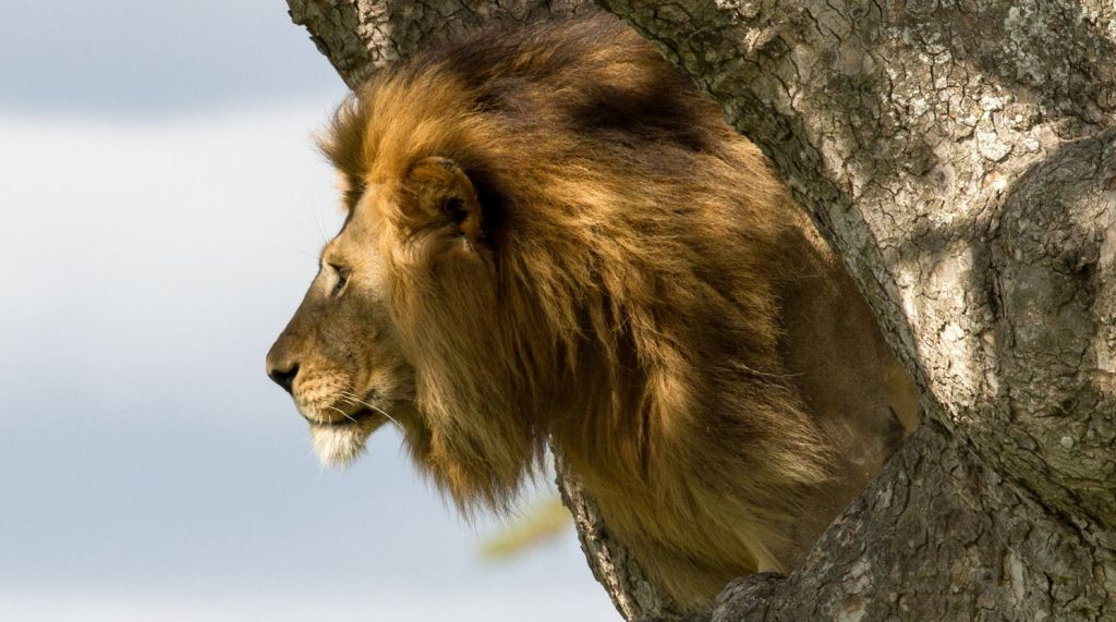 Male lion in a tree