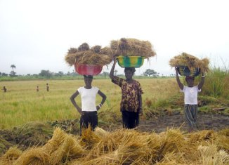 Harvesting-at-FHDO-Farmland