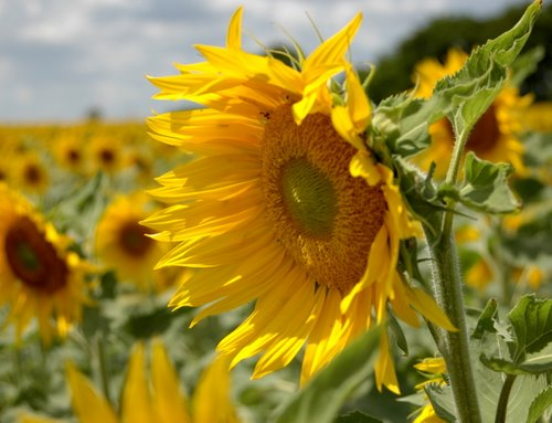 sunflowers 24