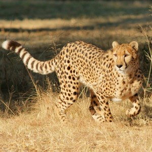 De Wildt Cheetah Centre