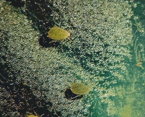 Aphids on African violet leaf