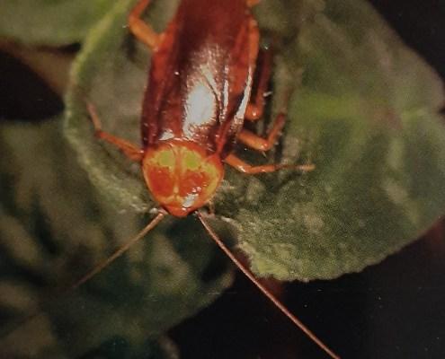 American cockroach on violet leaf