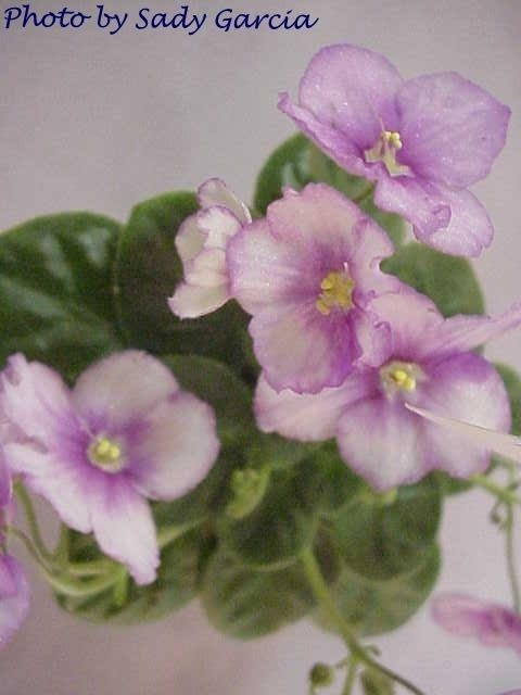 Aca's Eloise 04/20/2002 (J. Brownlie) Single-semidouble red and white pansy. Light green, plain, quilted. Semiminiature (CA)