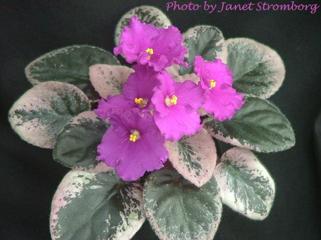 Aca's Merry Mary 01/11/1985 (J. Brownlie) Semidouble red. Variegated green, white, and pink, plain. Semiminiature (CA)