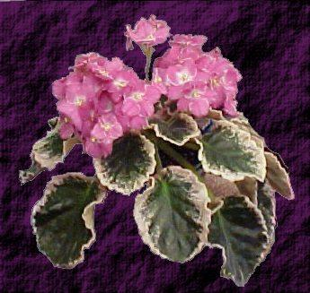 Aca's Summer Parfait 04/08/1999 (J. Brownlie) Single-semidouble pink and white frilled pansy. Variegated green, white and pink, plain, quilted, scalloped. Standard (CA)