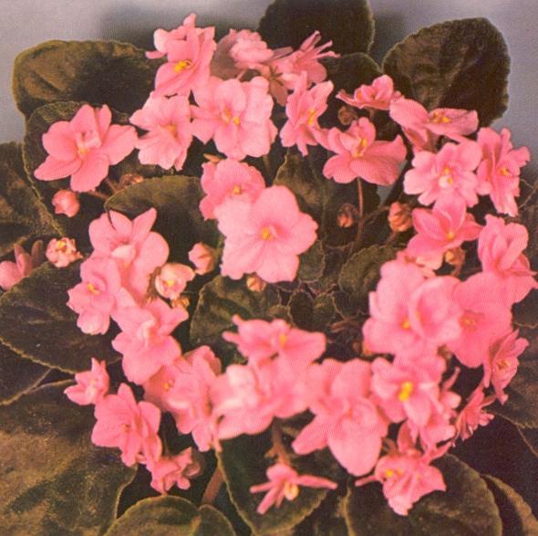 Adeline Krogman 07/12/1980 (F. Tinari) Semidouble pink wavy. Pointed, quilted. Standard
