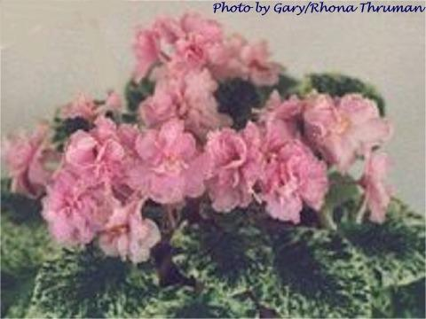 Cairo Cutie 04/19/1983 (B. Bryant) Double pink two-tone/white-green frilled edge. Variegated, ovate, quilted, serrated. Standard (TX Hyb)