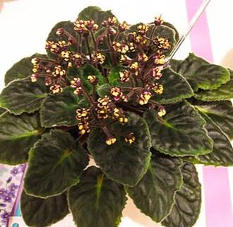 Botanika Violet Barn