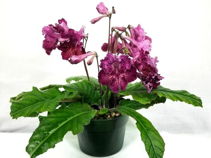 Streptocarpus 'Steffano's Double Take'