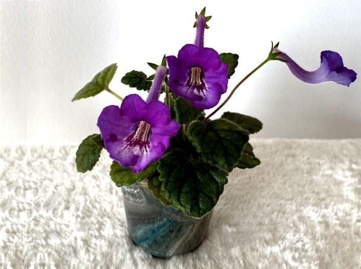 Sinningia 'Malu's Tinkie Winkie' (M. Anderson-Clive) Reddish purple, dark red guidelines, yellow throat. Miniature