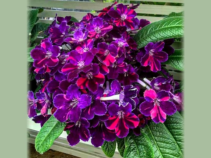 Streptocarpus 'Steffano's Purple Tiger' (S. Covolo) Medium Purple bi-tone, white throat, black and yellow guidelines, darker purple venous work overlay, hot coral pink fantasy rays and dashes. Medium green foliage on a medium size growing plant.